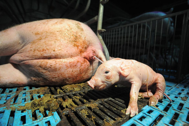 Giving_birth_in_factory_farming