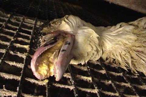 Foie_gras_duck_3