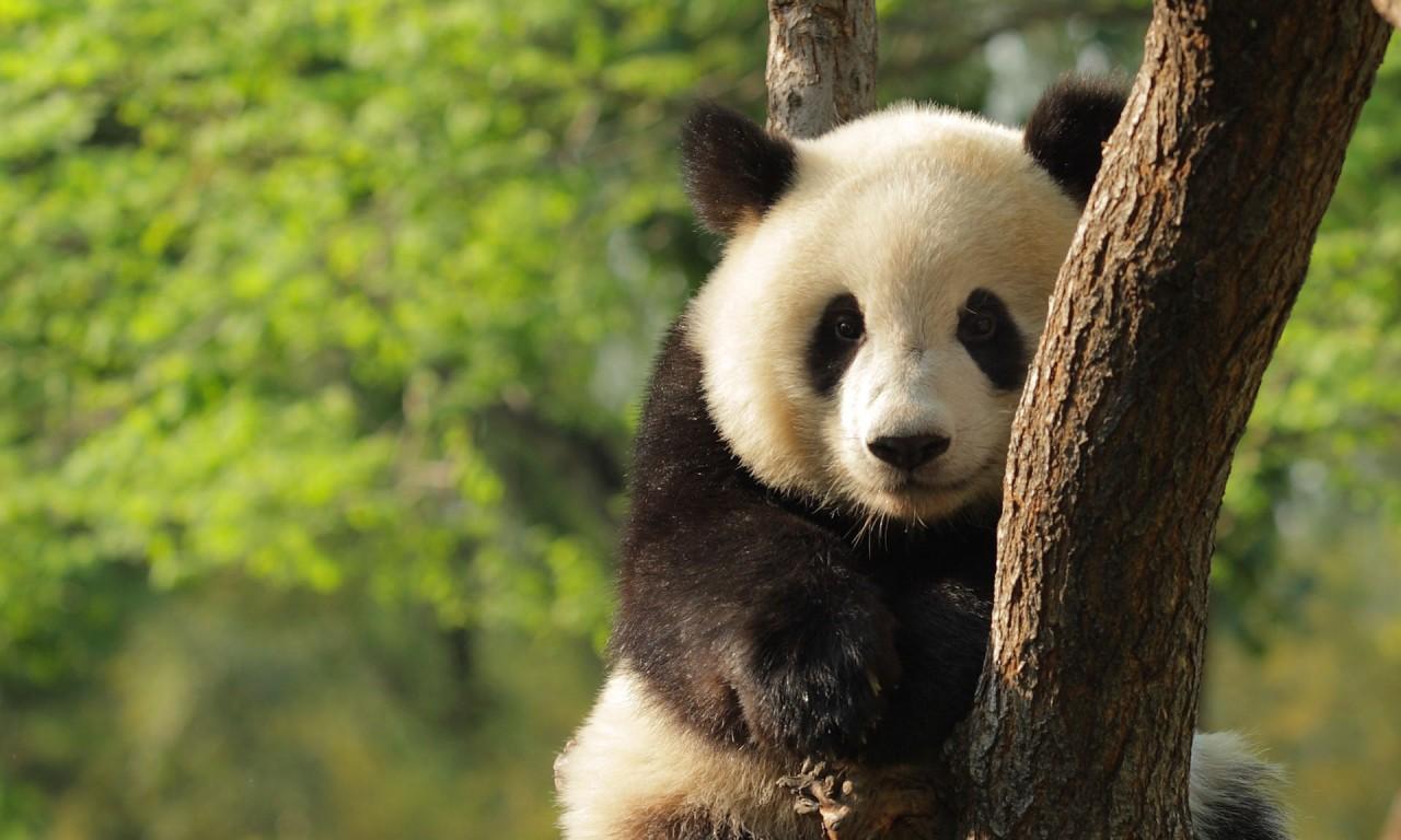 Pandaclimbing768x1280