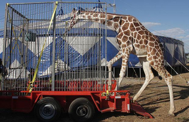 Giraffecircus_1365018i